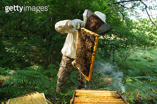 LOZERE,FRANCE - A woman works with her bees colony for the production of honey for her own consumption in the south of France. - gettyimageskorea