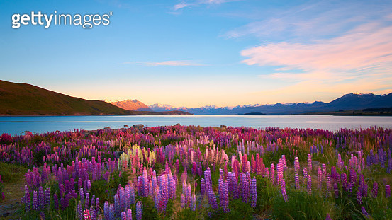 Morning sun lights up lupins growing next to Lake Tekapo, on New Zealand's South Island.  - gettyimageskorea
