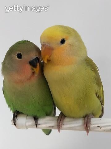 Love bird portrait - gettyimageskorea