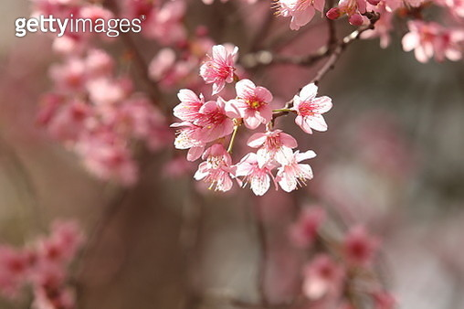 Close-Up Of Pink Cherry Blossoms In Spring - gettyimageskorea