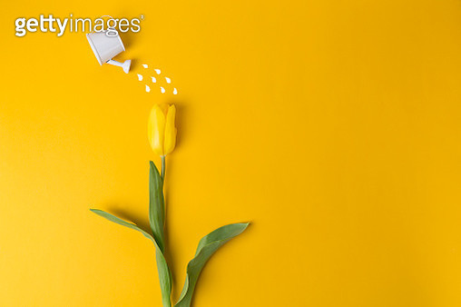 Yellow tulip and toy watering can water a tulip on a plain background. Spring and holiday concept. Spring greeting card happy mother day. Flat lay, copy space. - gettyimageskorea