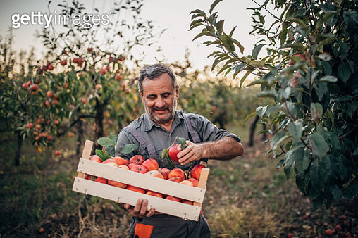 Man farmer picking up apples in fruit orchard - gettyimageskorea