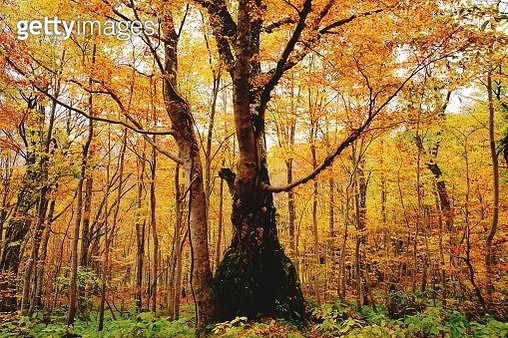 Trees In Forest During Autumn - gettyimageskorea
