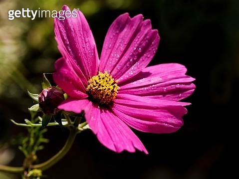 Close-Up Of Pink Cosmos Flower - gettyimageskorea