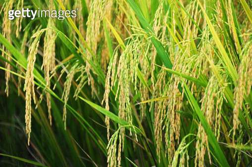 High Angle View Of Rice Crop Growing On Field - gettyimageskorea