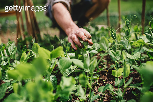 A midsection of man outdoors gardening. Copy space. - gettyimageskorea