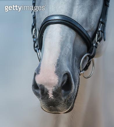 Muzzle of grey stallion with white mark - gettyimageskorea