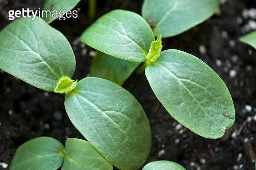 Two Cucumber Seedlings with First Real leaf Showing - gettyimageskorea