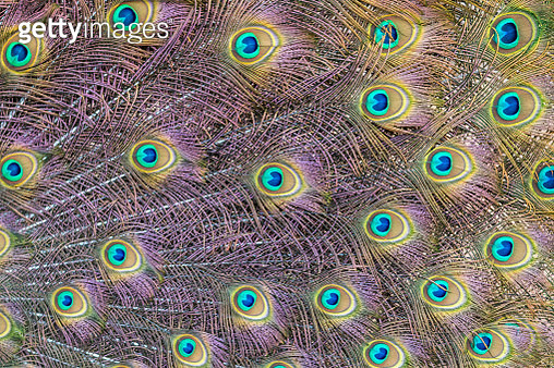 Close-up of peacock feathers - gettyimageskorea