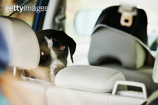 Medium close up shot of dog sitting in back seat of car looking out window - gettyimageskorea