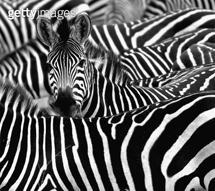 Close up from a zebra surrounded with black and white stripes in his herd. - gettyimageskorea