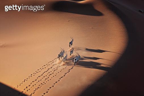 Gemsbok (Oryx gazella) herd running Namib Desert, Naukluft National Park, Namibia - gettyimageskorea