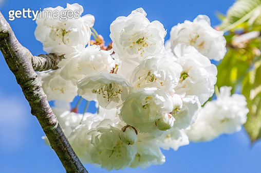 Close-Up Of White Cherry Blossom Tree - gettyimageskorea
