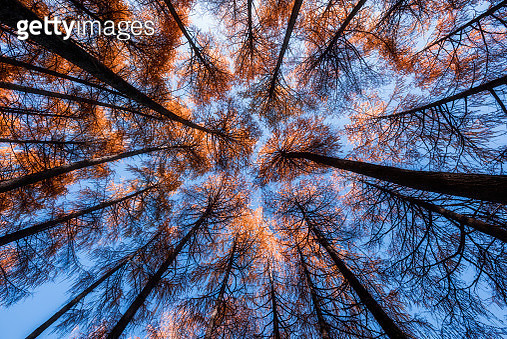 Redwood trees in the forest in autumn, shot from up - gettyimageskorea