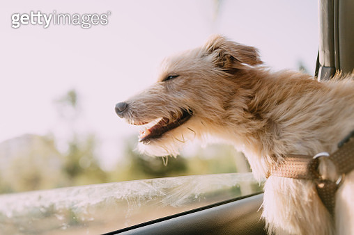 Close-Up Of Dog In Car - gettyimageskorea
