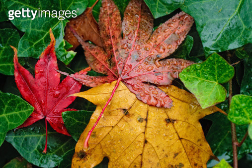 Wet autumn leaves - gettyimageskorea