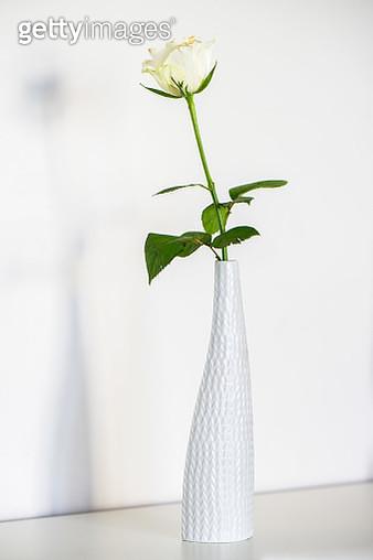 White rose in white vase - gettyimageskorea