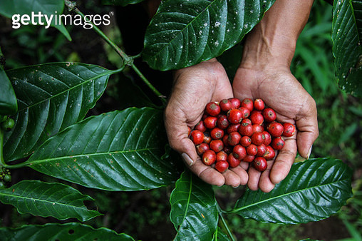 Indonesia, Man Holding Freshly Arabica Coffe Beans with Coffee Leaf on the Background - gettyimageskorea