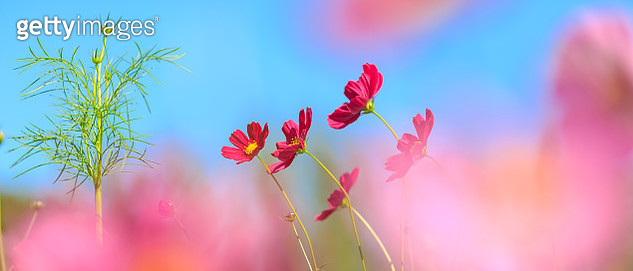 cosmos flower field. 21:9 aspect ratio - gettyimageskorea