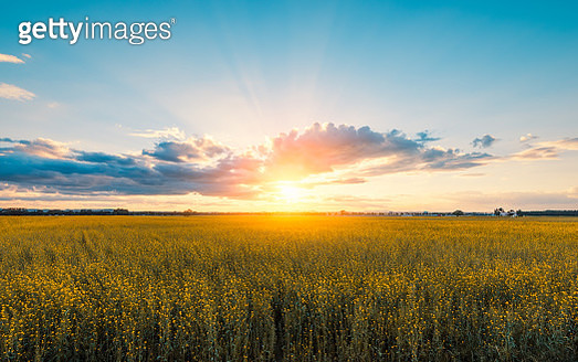 Rapeseed field at sunset - gettyimageskorea