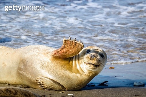 Young seal smiles and waves - gettyimageskorea