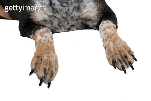 Rottweiler X Australian Cattle Dog feet on a white background - gettyimageskorea