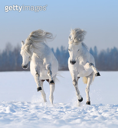 Two galloping snow-white horses - gettyimageskorea