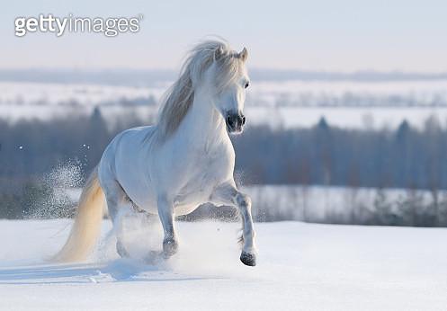Gray Welsh pony - gettyimageskorea
