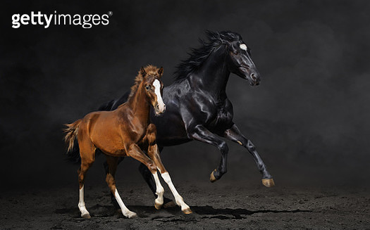Black mare and her bay foal - gettyimageskorea