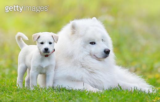 Samoyed dog and white puppy - gettyimageskorea