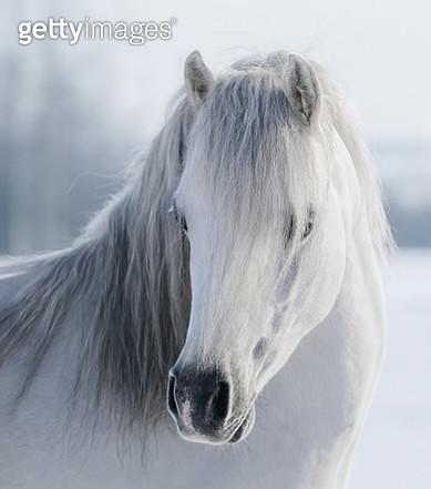 White Welsh pony - gettyimageskorea