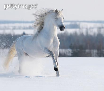 White stallion galloping - gettyimageskorea