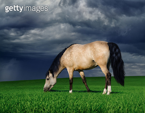 Arabian pony on a meadow before a thunder-storm - gettyimageskorea