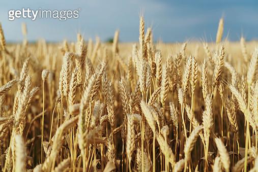 Field of golden wheat - gettyimageskorea