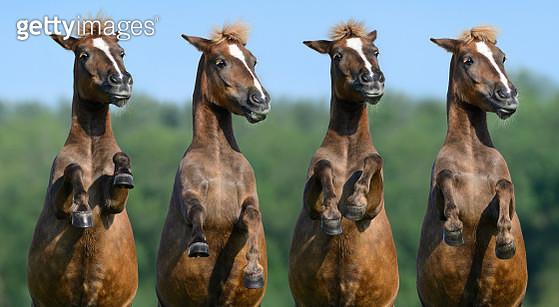 Four rear sorrel highland ponies - gettyimageskorea