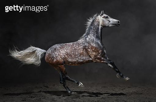 Gray arabian horse gallops on dark background - gettyimageskorea