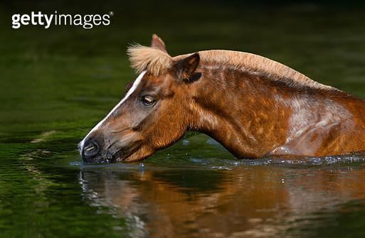 Sorrel Highland pony drinking in a pond - gettyimageskorea