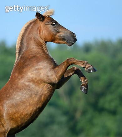 Rear sorrel highland pony - gettyimageskorea