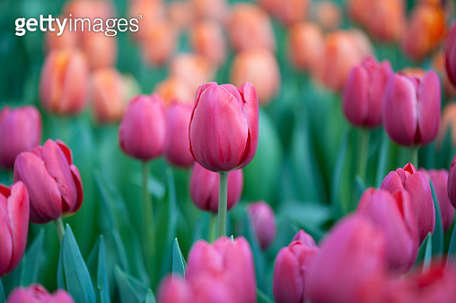 Purple and orange tulip flower bed - gettyimageskorea