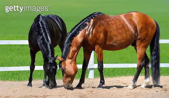 Two horses walk on manege - gettyimageskorea