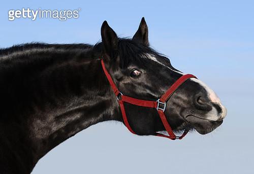Portrait of black mare - gettyimageskorea