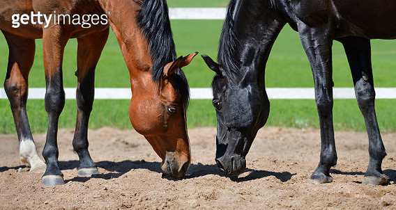 Two stallions smell sand - gettyimageskorea
