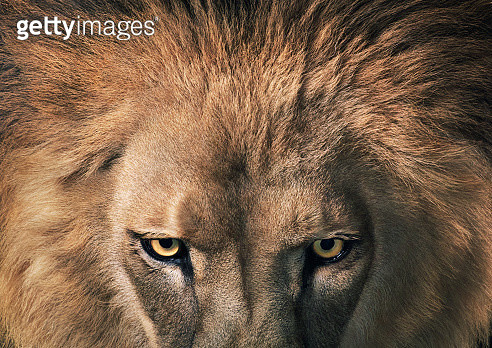 Lion in intense stare showing mane and bright, open eyes. - gettyimageskorea