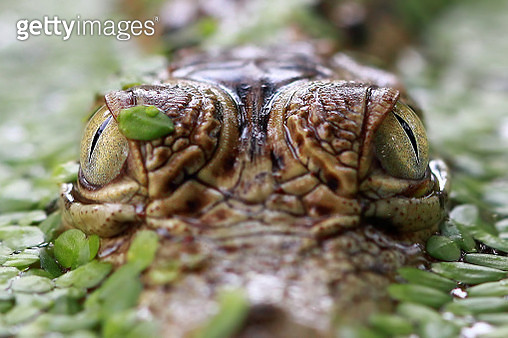 Close-up of a crocodiles eyes - gettyimageskorea