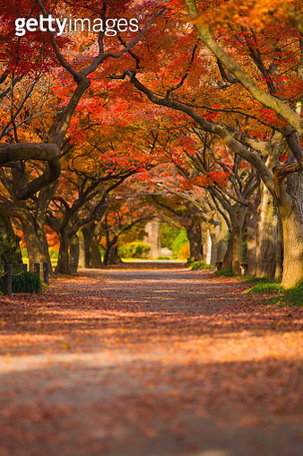 Maple tree's arch - gettyimageskorea