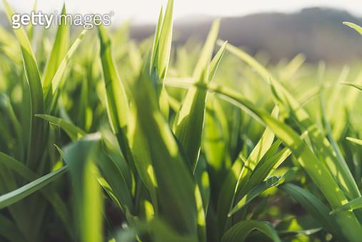 Green Grass - gettyimageskorea