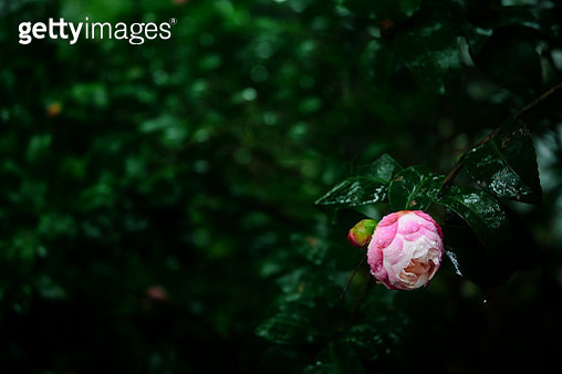 Close-Up Of Pink Flower Blooming Outdoors - gettyimageskorea