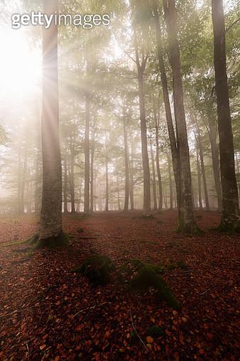 Sunrays In An Enchanted Beech Forest In Entzia, Alava - gettyimageskorea