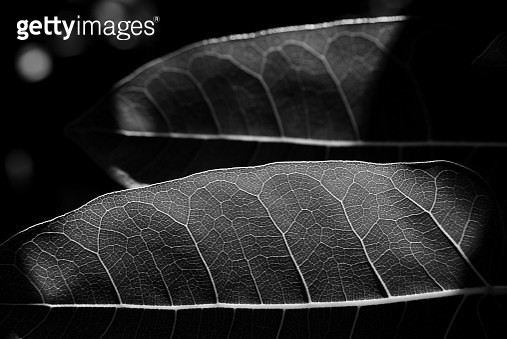 Leaves of Ficus ingens, the red-leaved fig - gettyimageskorea