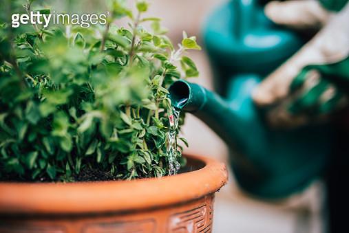 Watering fresh planted herbage. - gettyimageskorea